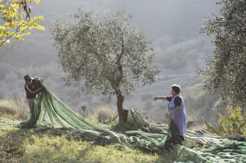 Första skördedagen 12 november i strålande sol och cirka +18 grader gav 600 kilo oliver. Kvaliteten på oliverna är i år Superiore.